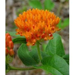 ASCLEPIAS tuberosa Orange