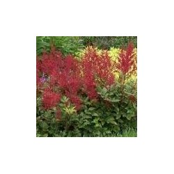 ASTILBE arendsii Astary red