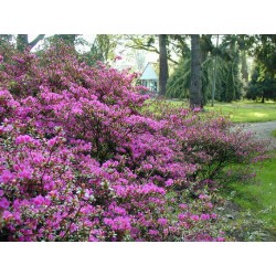 AZALEA (j) Purple splendor