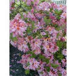 AZALEA (kh) Berryrose