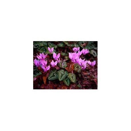 CYCLAMEN hederifolium Ivy ice rose shades