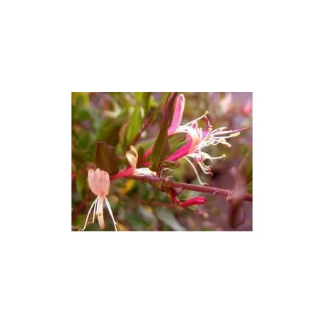 LONICERA japonica Darts world