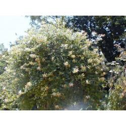 LONICERA japonica Halliana