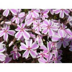 PHLOX (s) Candy stripes