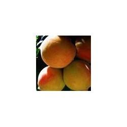 PRUNUS persica Reine des vergers