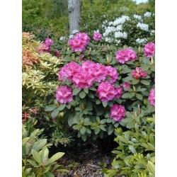 RHODODENDRON (t) Anah kruschke