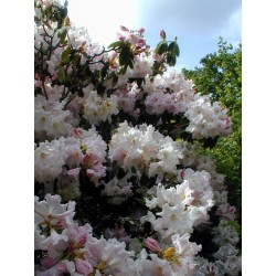 RHODODENDRON (t) Madame masson