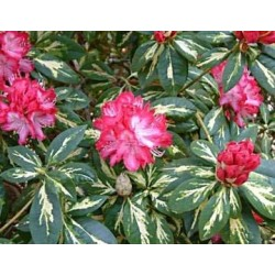 RHODODENDRON (t) Pres. roosevelt