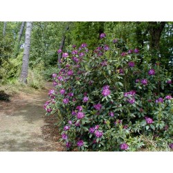 RHODODENDRON Blue diamond