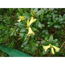 RHODODENDRON Yellow hammer