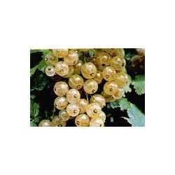 RIBES rubrum Versaillaise blanch