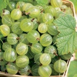 RIBES uva-crispa Pixwell