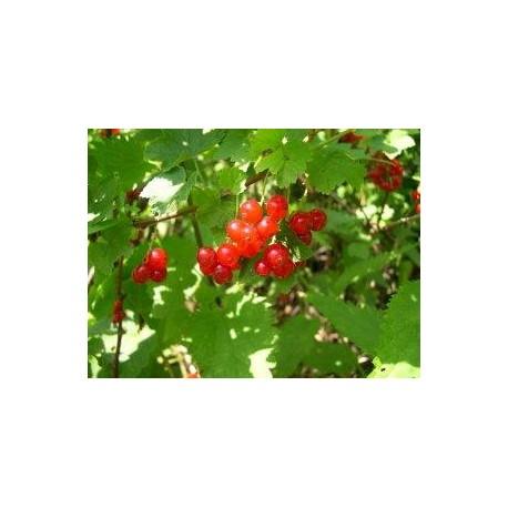 RIBES uva-crispa Worcester berry