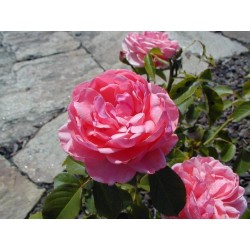 ROSA Lovely pink(r)
