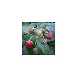 RUBUS idaeus Autumn blizz