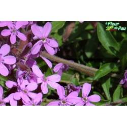 SAPONARIA ocymoides Rose