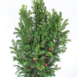 TAXUS media Strait hedge