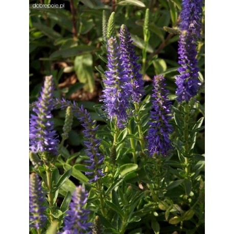 VERONICA spicata Blue
