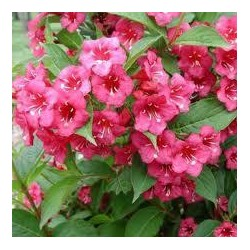 WEIGELA Bristol ruby