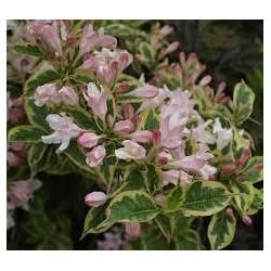WEIGELA florida Nana variegata