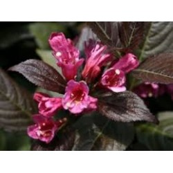 WEIGELA Minor black