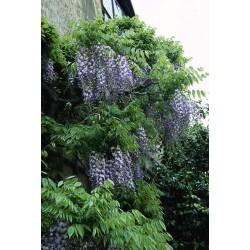 WISTERIA flor. Macrobotrys
