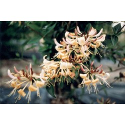 LONICERA japonica Chinensis