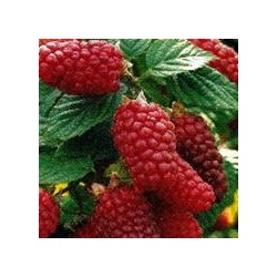 RUBUS Tayberry