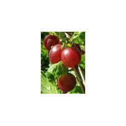 RIBES uva-crispa Achilles