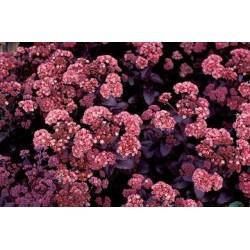 SEDUM spurium Purpur winter