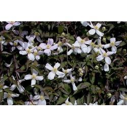 CLEMATIS montana Wilsonii