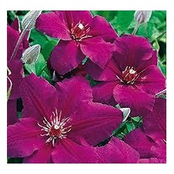CLEMATIS vitic. Royal velours