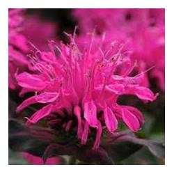 MONARDA didyma Balmy pink