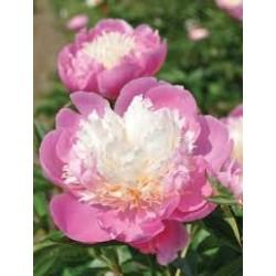 PAEONIA lactiflora Bowl of beauty