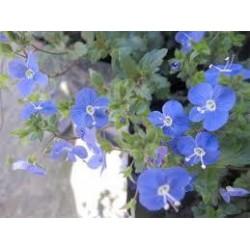 PARAHEBE Blue form