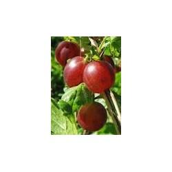 RIBES uva-crispa Captivator