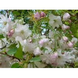 PRUNUS persica Taoflora(r) white