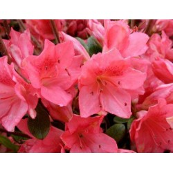 AZALEA (j) Blaauws pink
