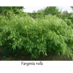 FARGESIA rufa