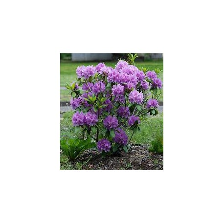 RHODODENDRON (t) Cataw. boursault