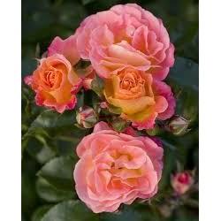 ROSA Peach drift(r)