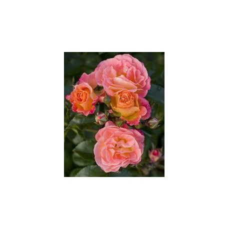 ROSA Peach drift(r)