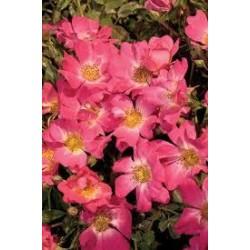 ROSA Pink drift(r)