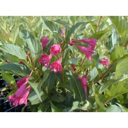 WEIGELA Lucifer