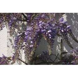 WISTERIA flor. Violacea plena
