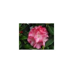 RHODODENDRON (t) Pink pearl