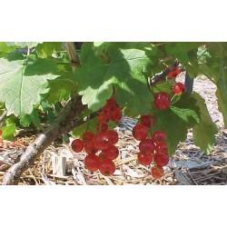 RIBES rubrum Versaillaise rouge