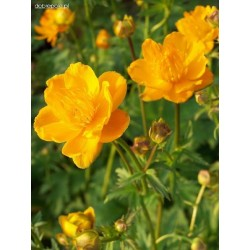 TROLLIUS chin. Golden queen