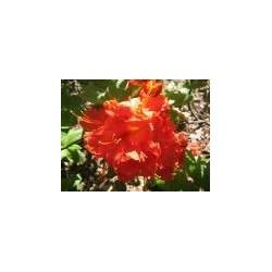 AZALEA (j) Orange beauty