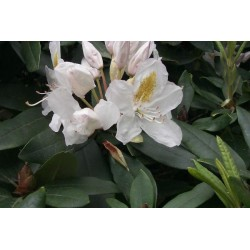 RHODODENDRON (t) Cunningh. white